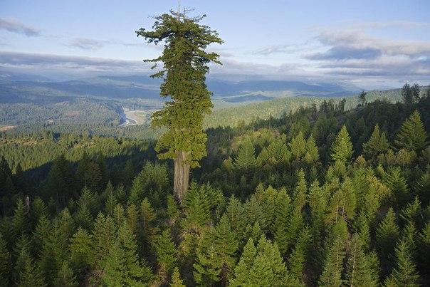 10 высочайших деревьев планеты.